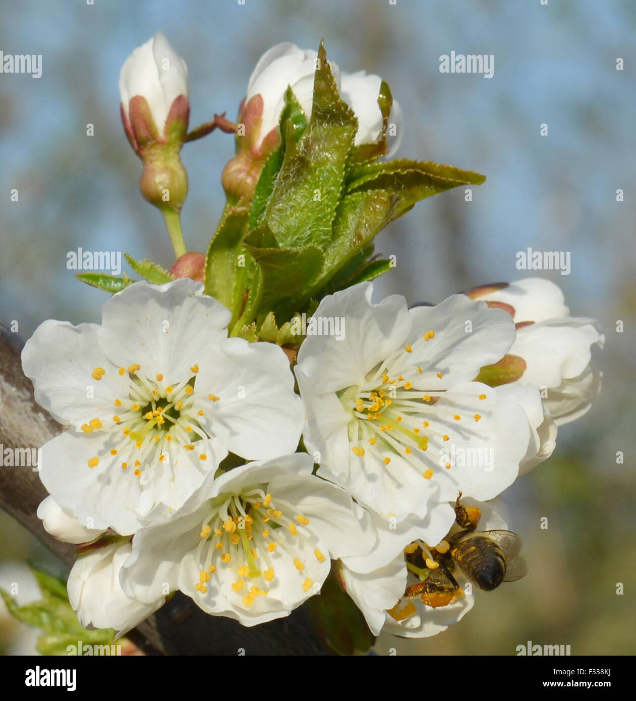 Bee collects pollen from a white flowers Stock Photo