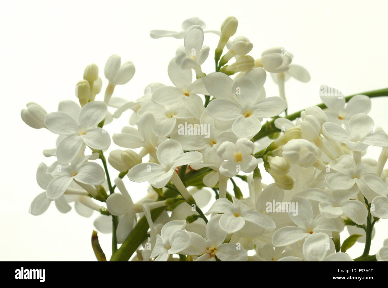 Lilac twig on the white background - Stock Image