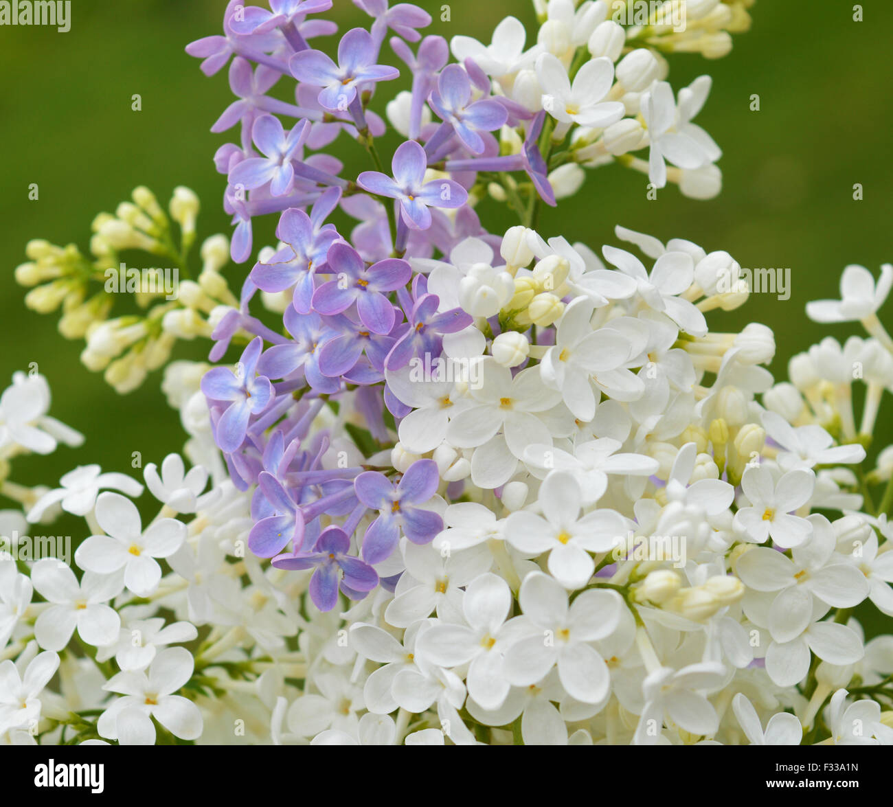 White and violet Lilac twig on the green background - Stock Image