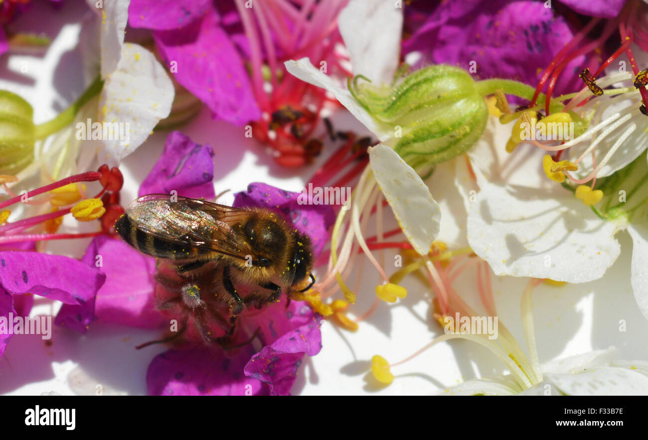 Bee collects pollen from geranium - Stock Image