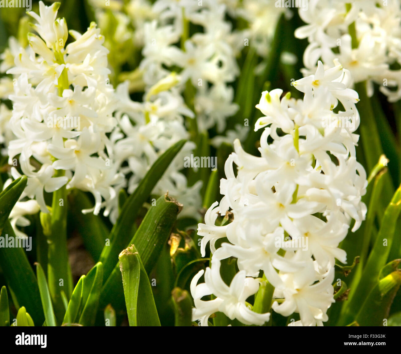 Few Flowers Of Hyacinth Of White Colour On Flower Bed Stock Photo