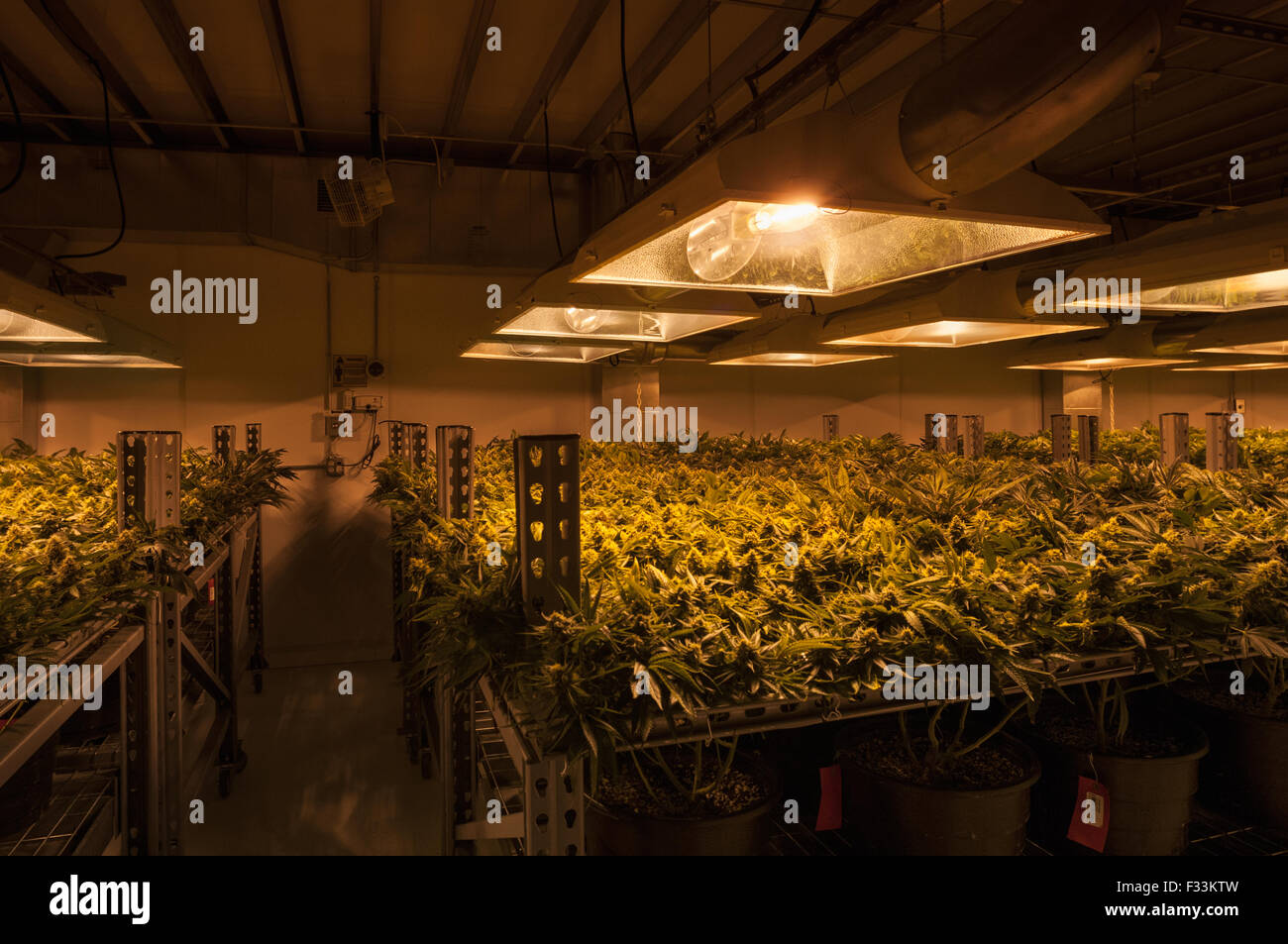 Cannabis Plants Carefully Grown For Marijuana Dispensary Pueblo Co