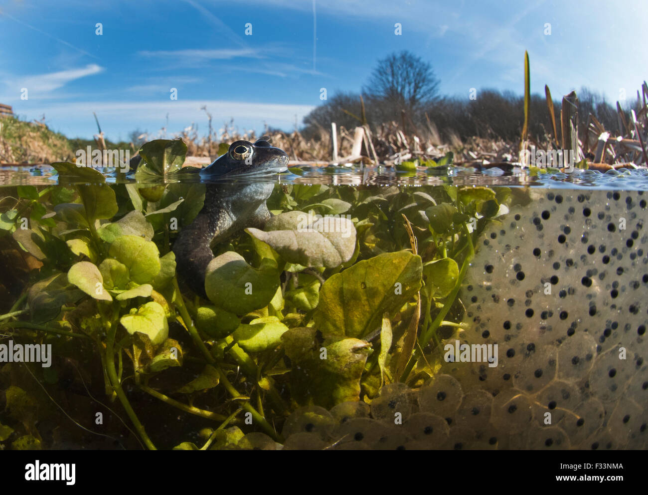 Common Frogs Rana temporaria and spawn in pond  North Norfolk March - Stock Image