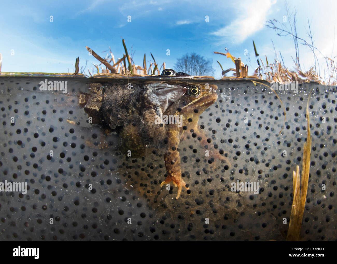 Common Frogs Rana temporary in amplexus (mating) among spawn in pond  North Norfolk March - Stock Image