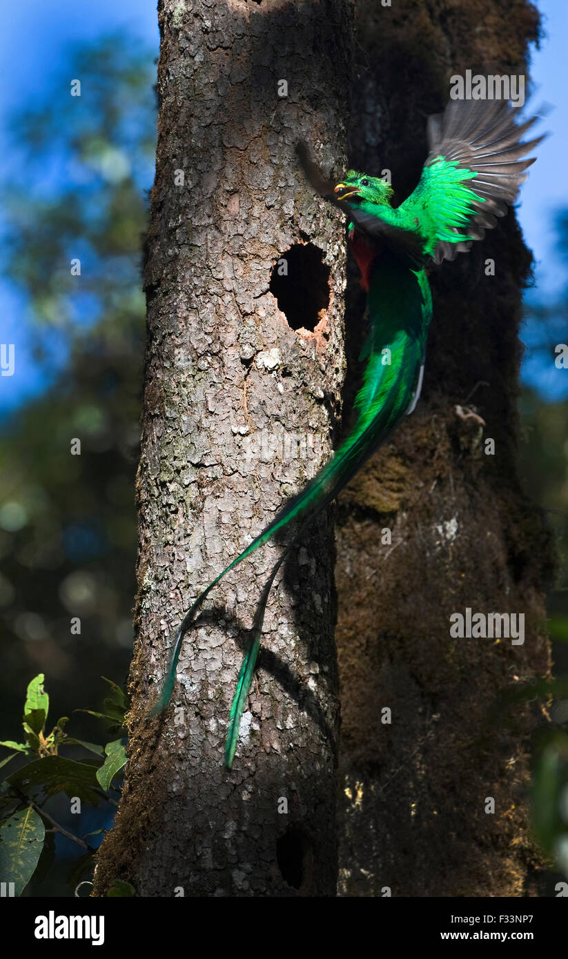 Resplendent Quetzal Pharomachrus mocinno male bringing wild avocado to feed young at nest Central Highlands Costa - Stock Image