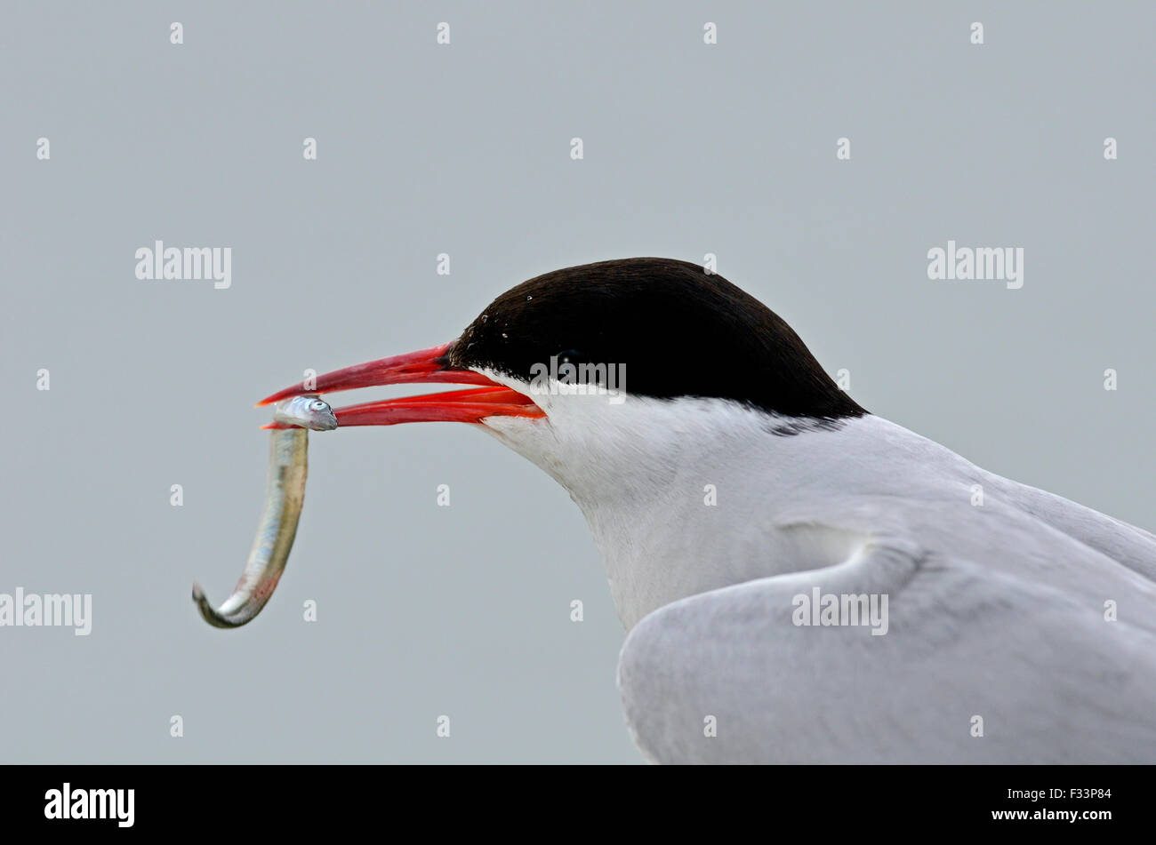 Arctic Tern Sterna paradisaea  with sand eel Farne Islands Northumberland July - Stock Image