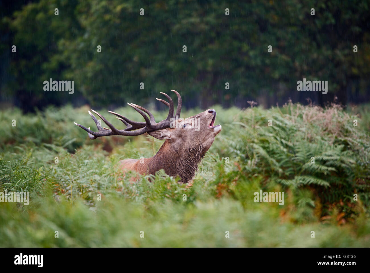 Red Deer (Cervus elaphus) Stag bellowing during rut, Richmond Park London September Stock Photo