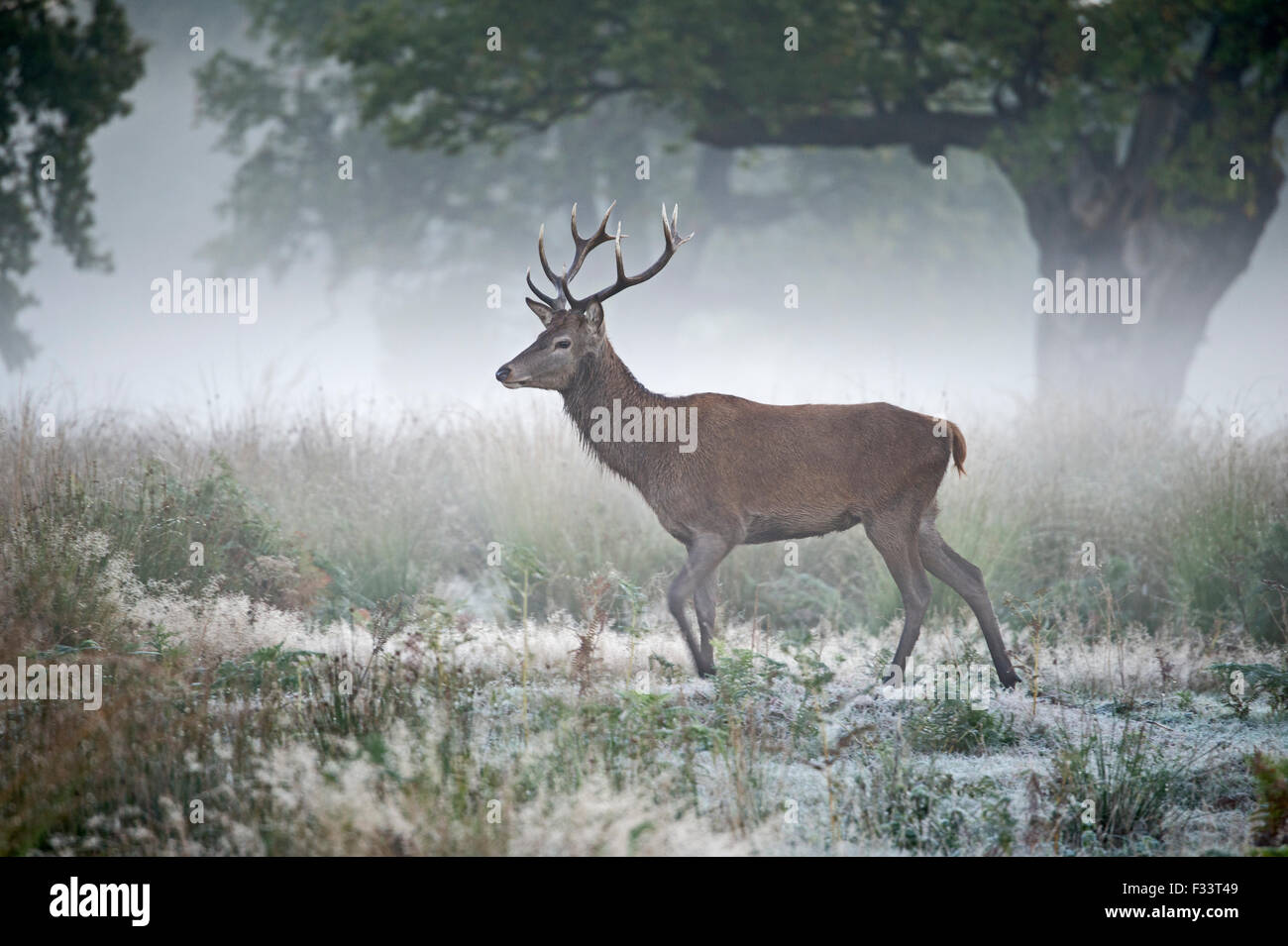Red Deer Cervus elaphus  on a misty dawn during the rut Richmond Park London autumn - Stock Image