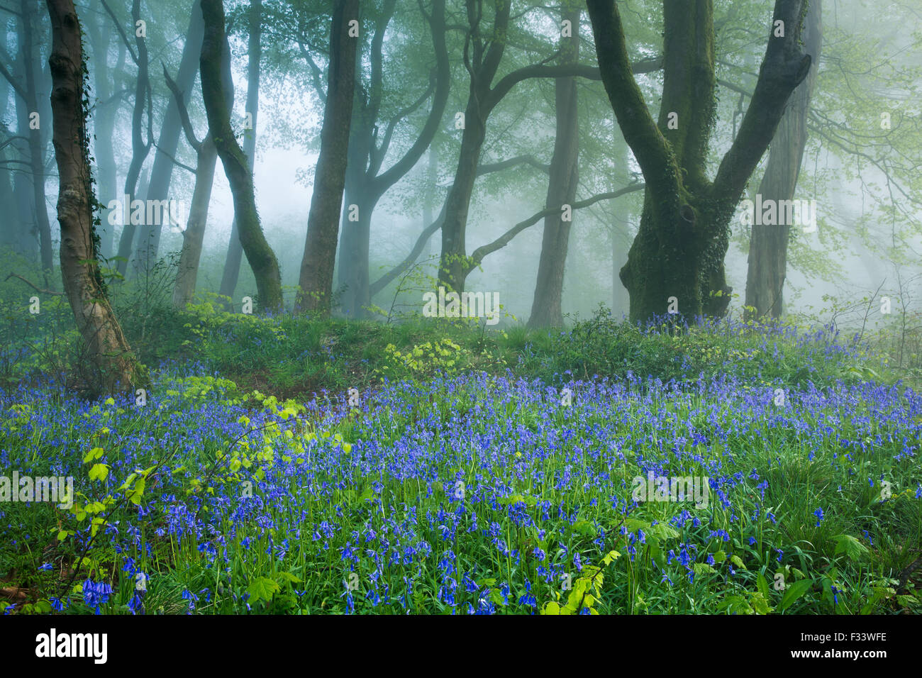 bluebells in the misty woods near Minterne Magna at dawn, Dorset, England, UK - Stock Image