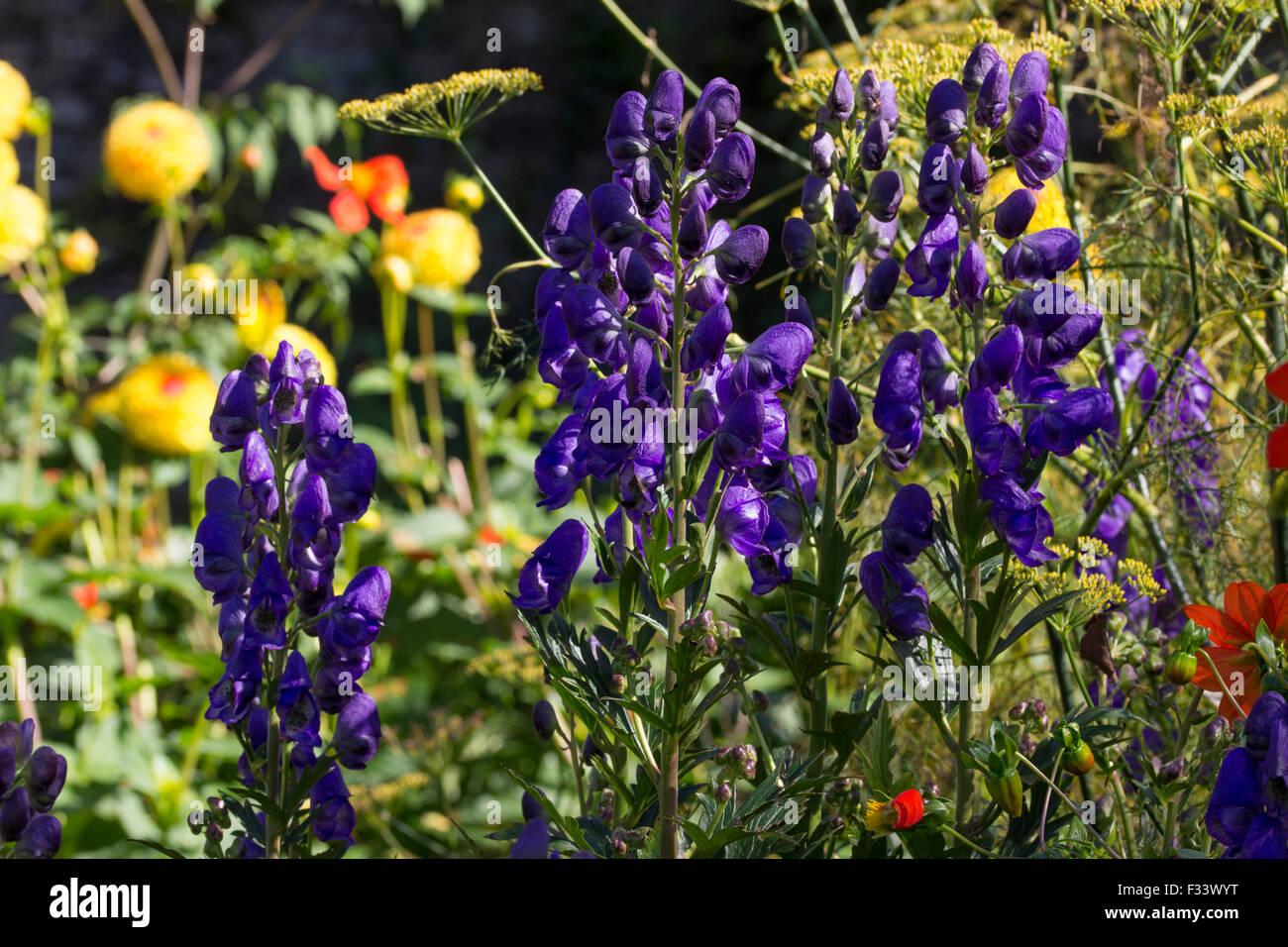 Deep blue flowers of the late flowering perennial monkshood deep blue flowers of the late flowering perennial monkshood aconitum carmichaelii the grim reaper mightylinksfo