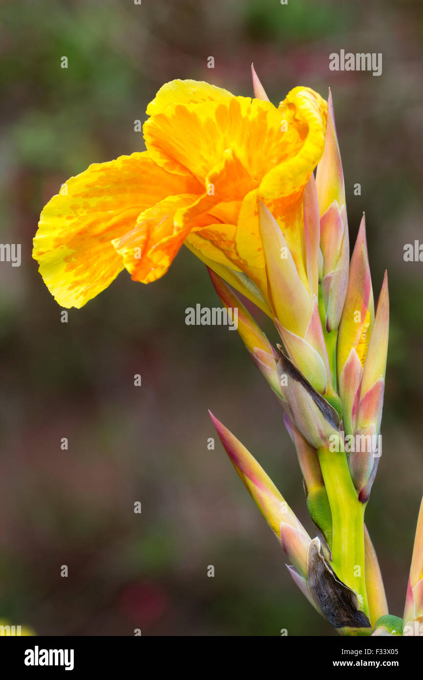 Mottled Orange Red Flower Of The Yellow Striped Exotic Foliage Plant