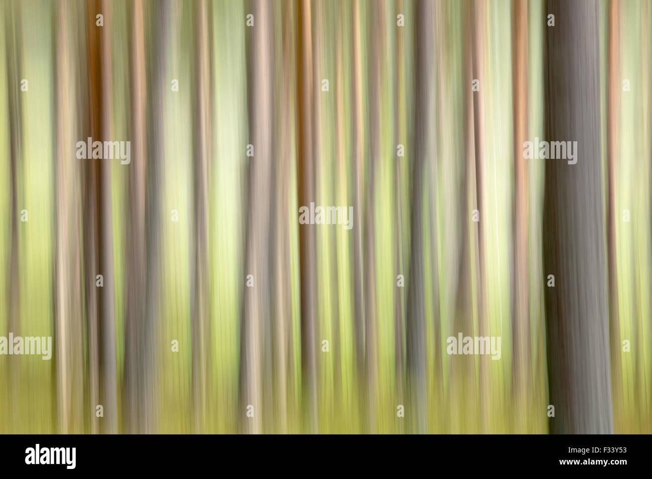 pine trees on the Balmoral Estate, Deeside, Aberdeenshire, Scotland, UK - Stock Image