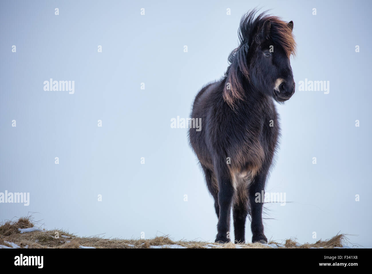 a horse nr Helgafell, Snaefellsness Peninsula, Icelnd - Stock Image