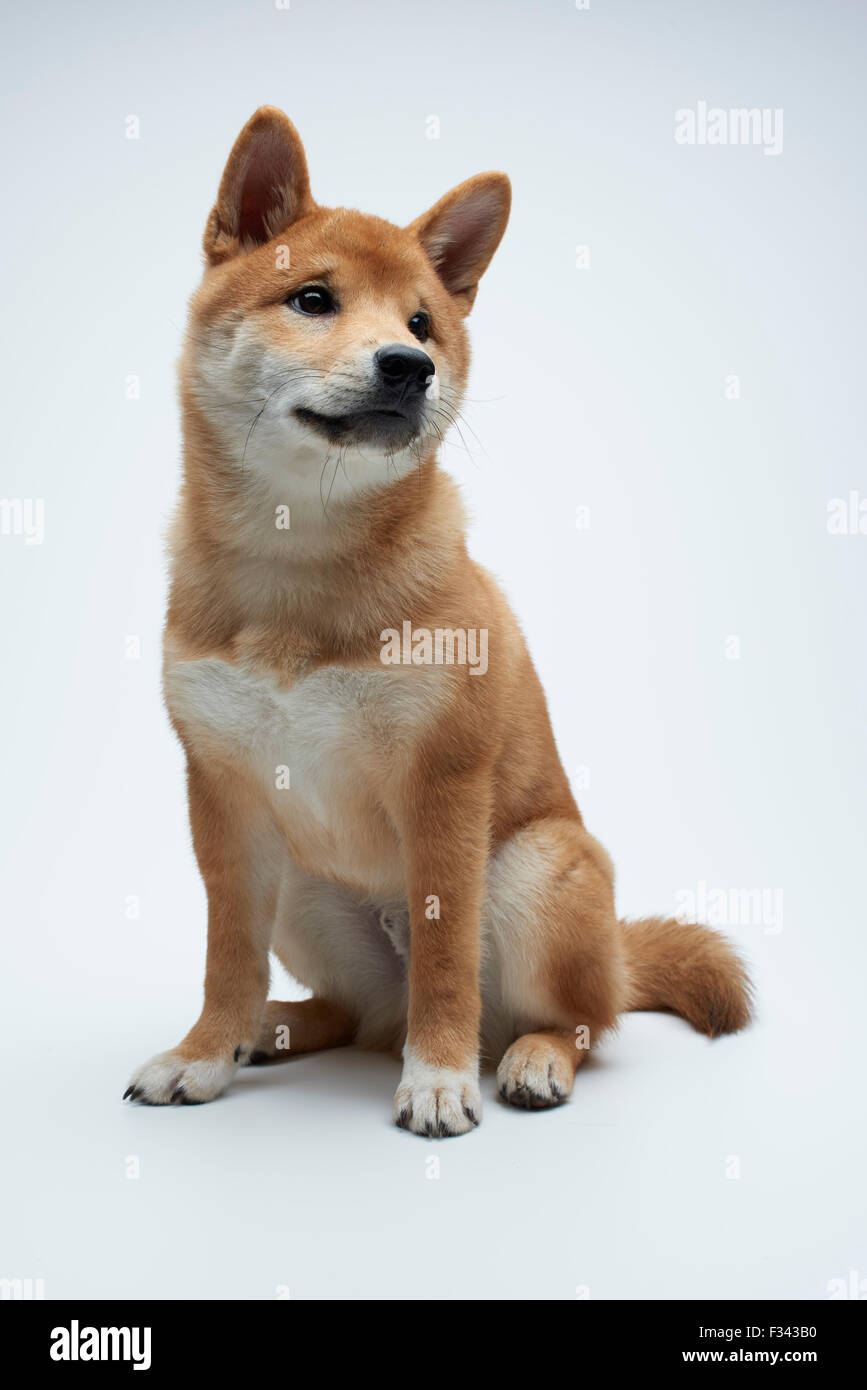 Cute Shiba Inu puppy sittiong on white background - Stock Image