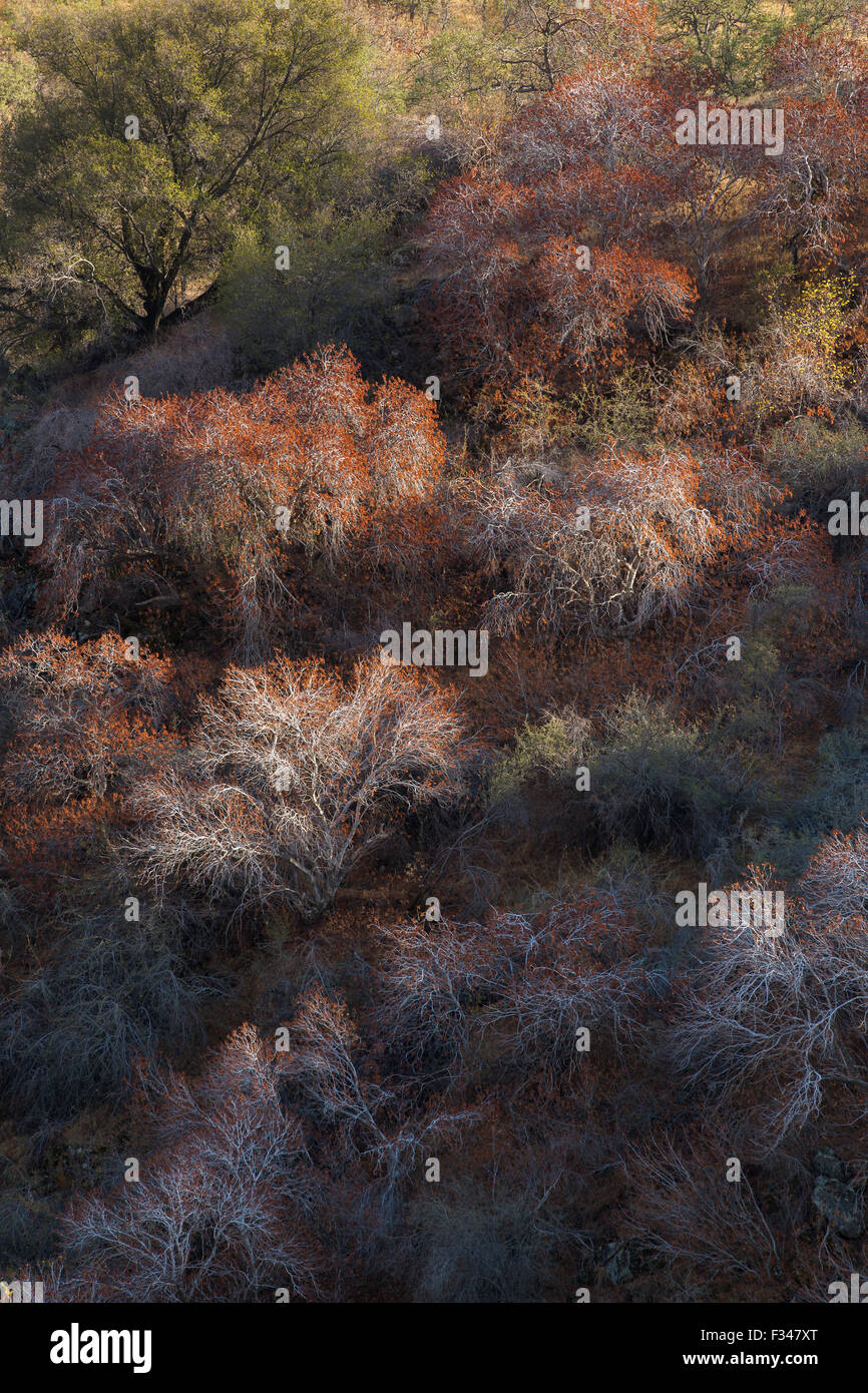buckeye trees catching the late afternoon light, Sequoia National Park, California, USA Stock Photo