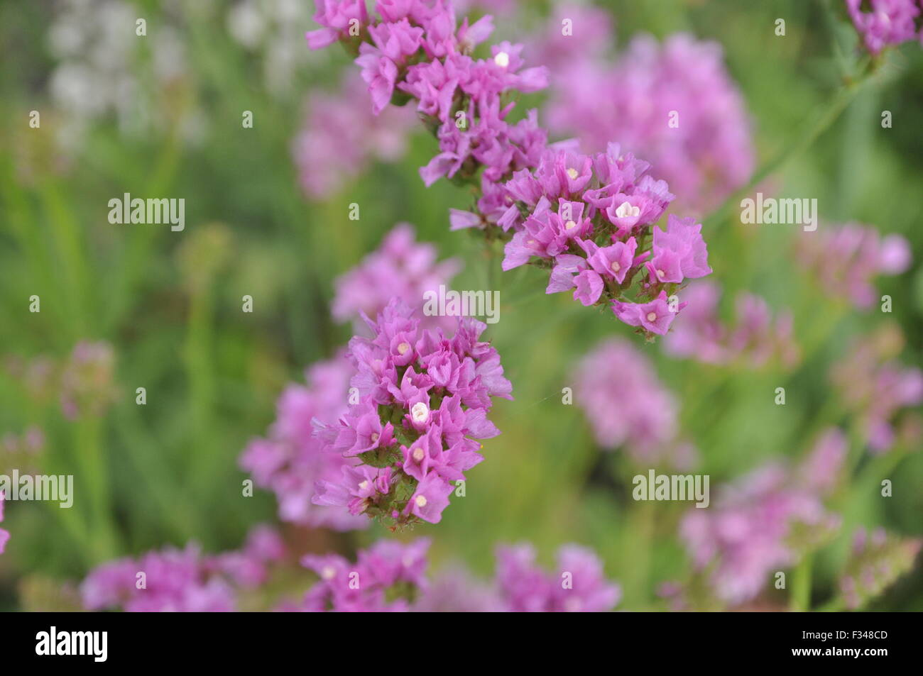 Pink Statice Stock Photos Pink Statice Stock Images Alamy