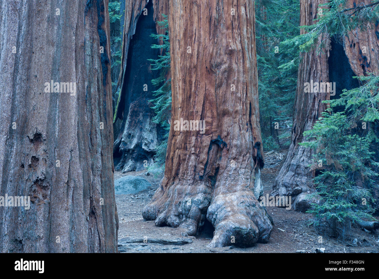 giant sequoia trees in Sequoia National Park, California, USA - Stock Image