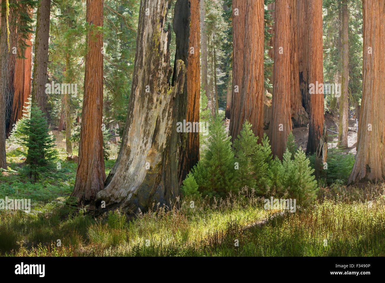giant sequoia trees in Sequoia National Park, California, USA - Stock Image