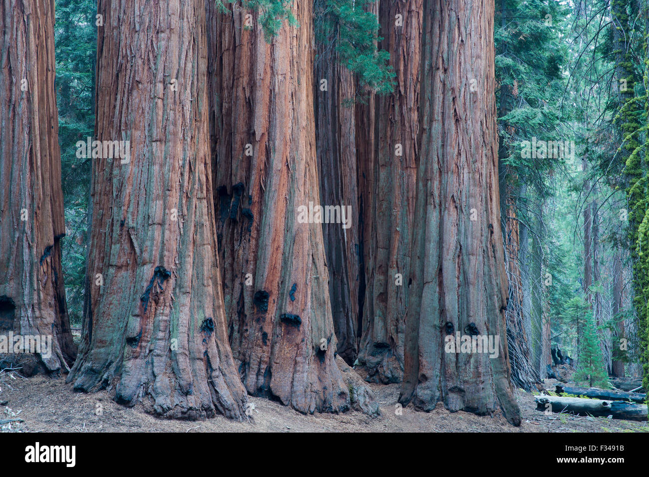 the House Group of giant sequoia trees on the Congress Trail, Sequoia National Park, California, USA Stock Photo