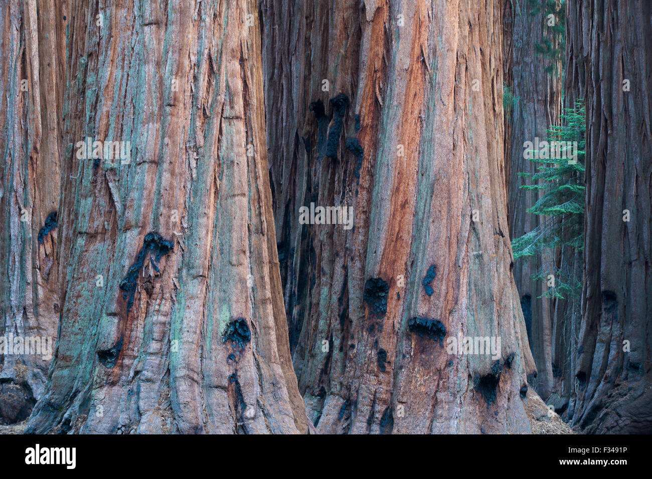 the House Group of giant sequoia trees on the Congress Trail, Sequoia National Park, California, USA - Stock Image