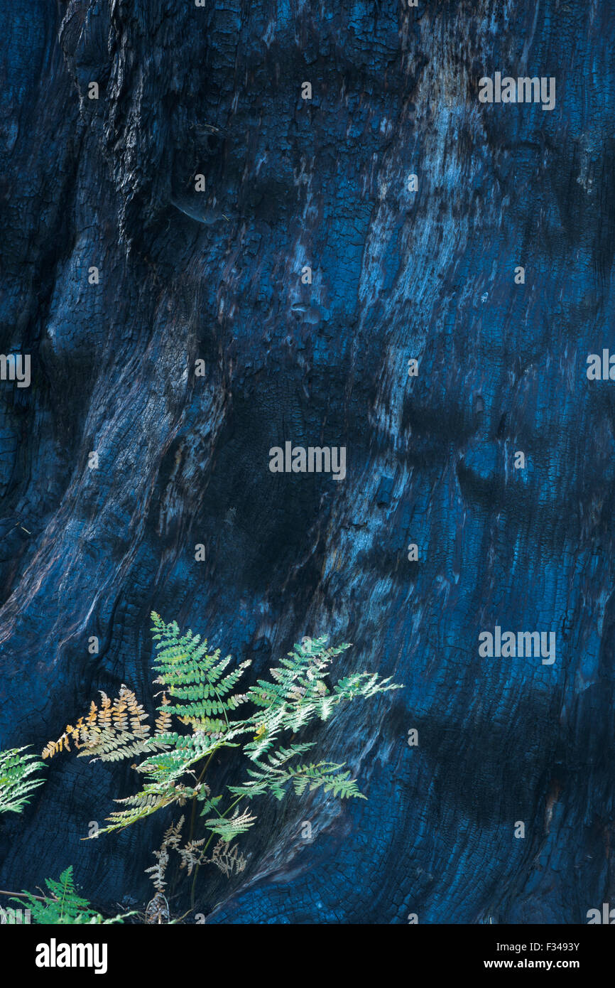 life and death fresh growth beside the scorched trunk of a sequoia tree killed by forest fire Crescent Meadow Sequoia - Stock Image