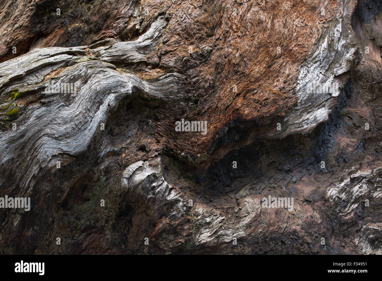 textures in the bark of Chimney Tree, a giant sequoia, Crescent Meadow, Sequoia National Park, California, USA - Stock Image