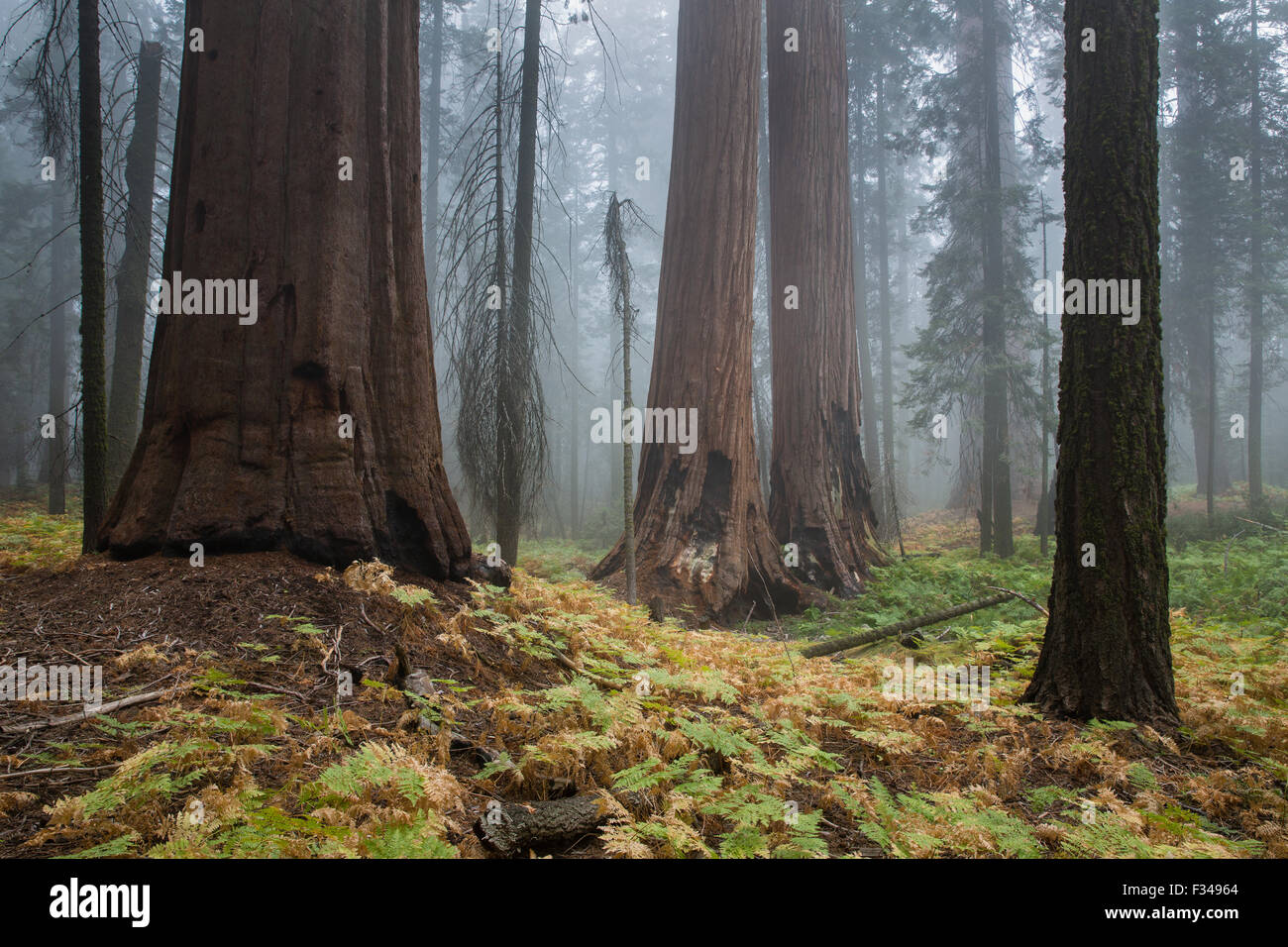 mist amongst the giant sequoia trees on the Bear Hill Trail, Sequoia National Park, California, USA - Stock Image