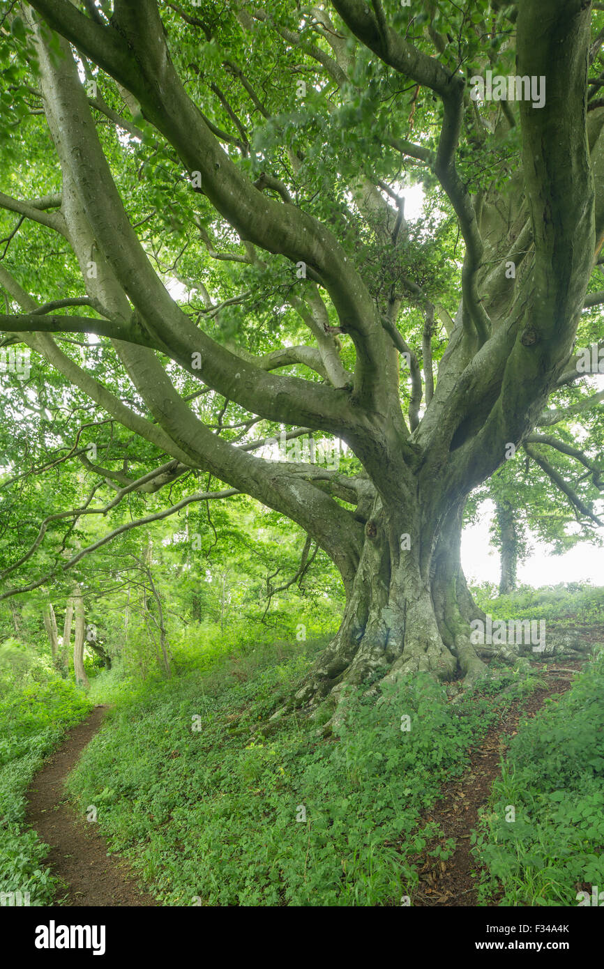 Beech tree, Milborne Wick Woods, Somerset, England, UK - Stock Image