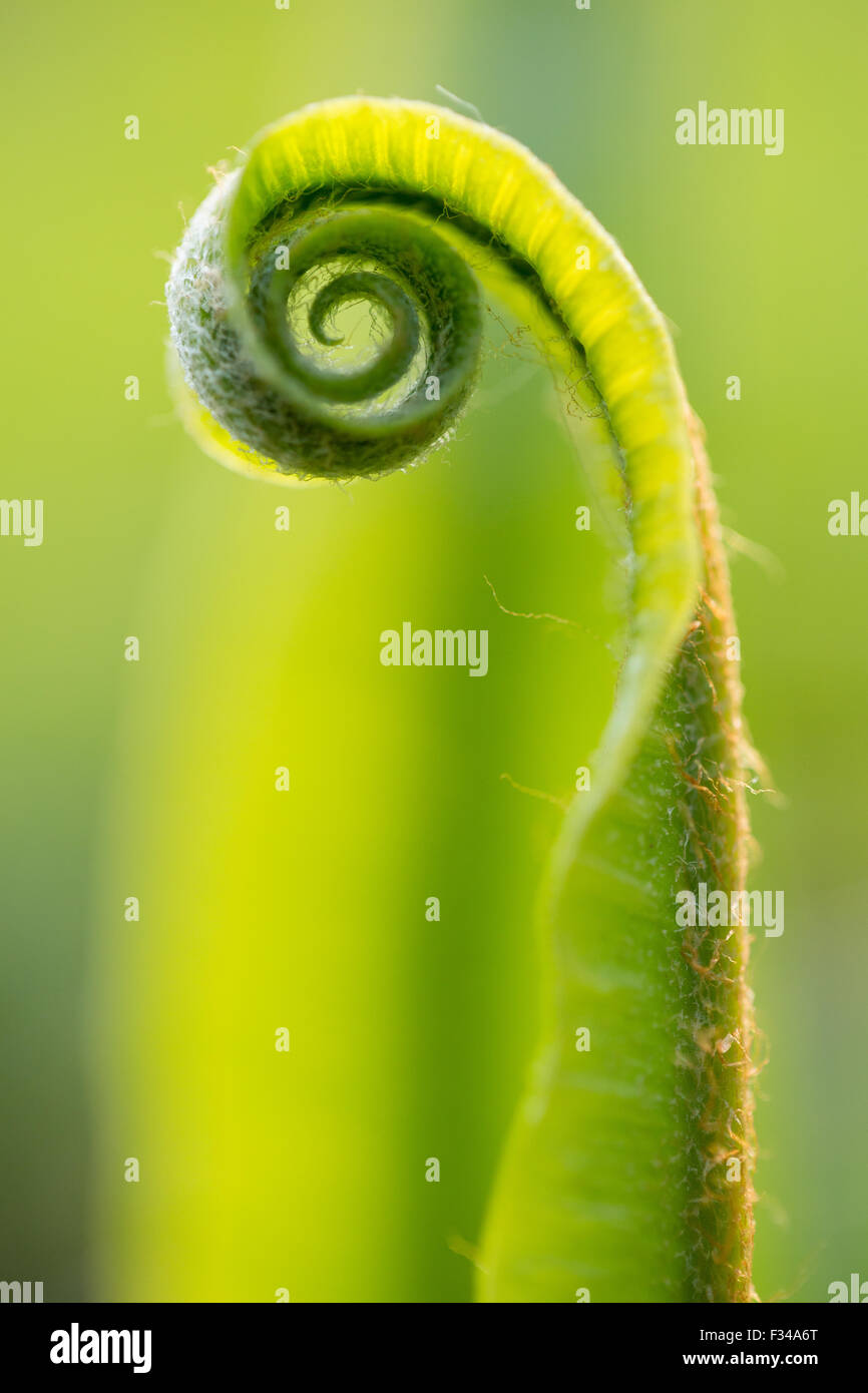 a fern uncurling in the woods at spring, Milborne Wick, Somerset, England, UK - Stock Image