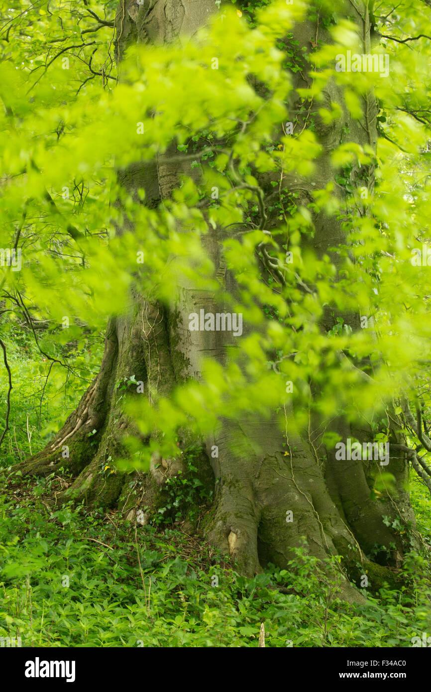 beech tree in woods in late spring, Milborne Wick, Somerset, England, UK - Stock Image