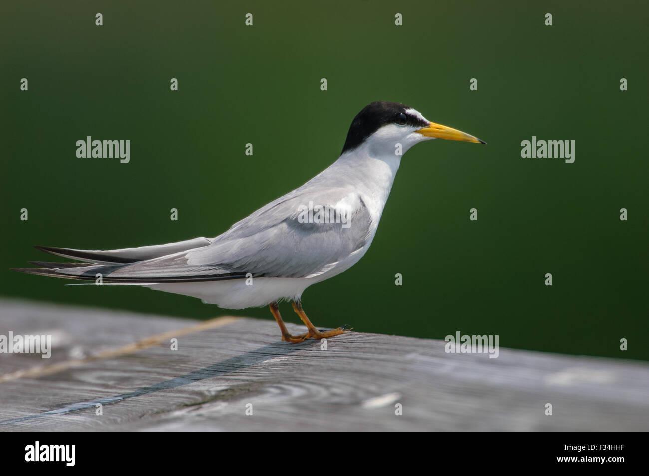 Sandwich Tern (Thalasseus sandvicensis),  Green Cay Nature Center, Delray Beach, Florida, USA Stock Photo
