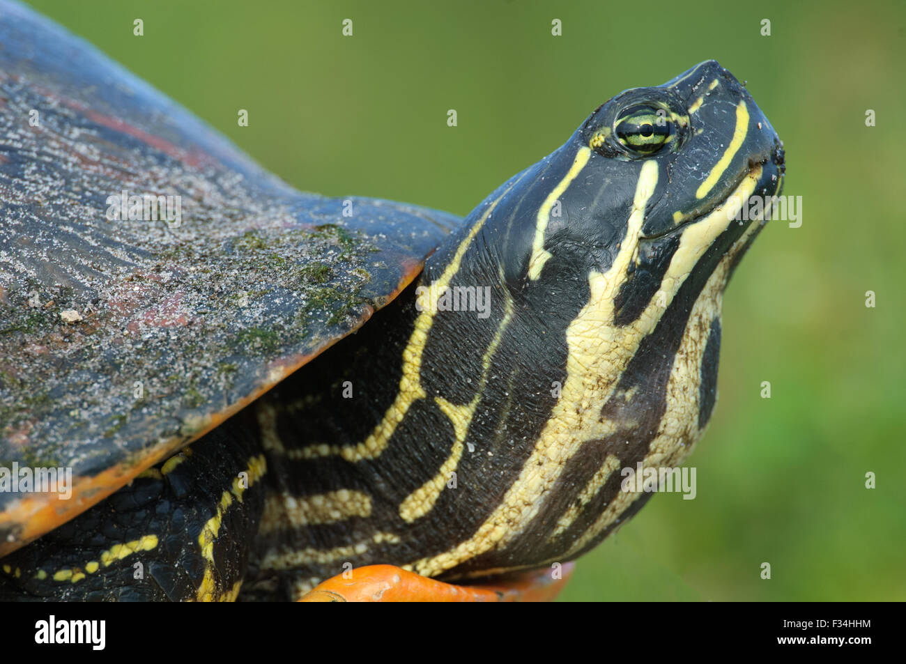 Close-up of head of Florida red-bellied cooter, AKA Florida redbelly turtle (Pseudemys nelsoni) at Green Cay Wetlands, Stock Photo