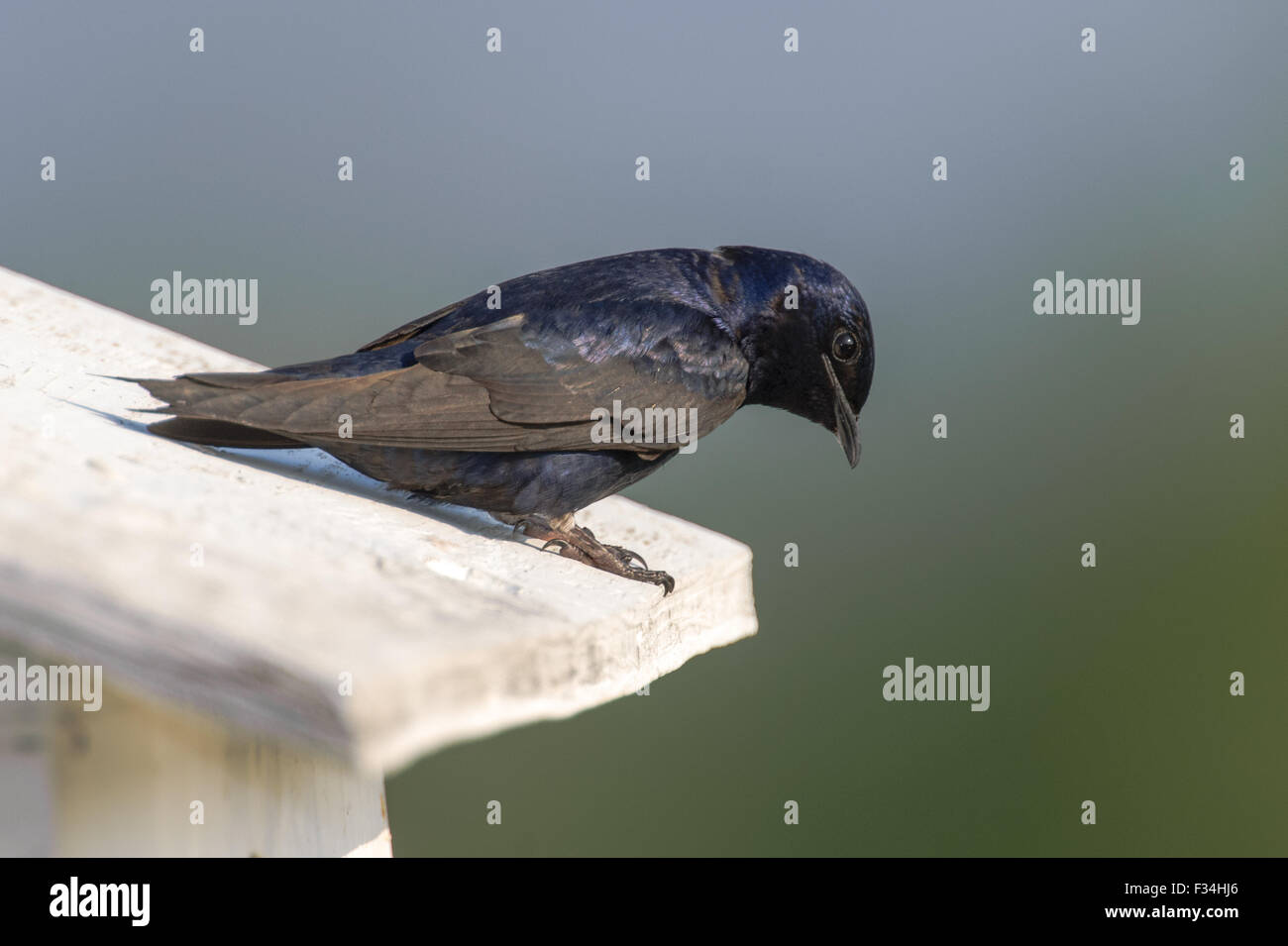 Male Purple Martin (Progne subis), on nesting box Wakodahatchee Wetlands, Delray Beach, Florida - Stock Image