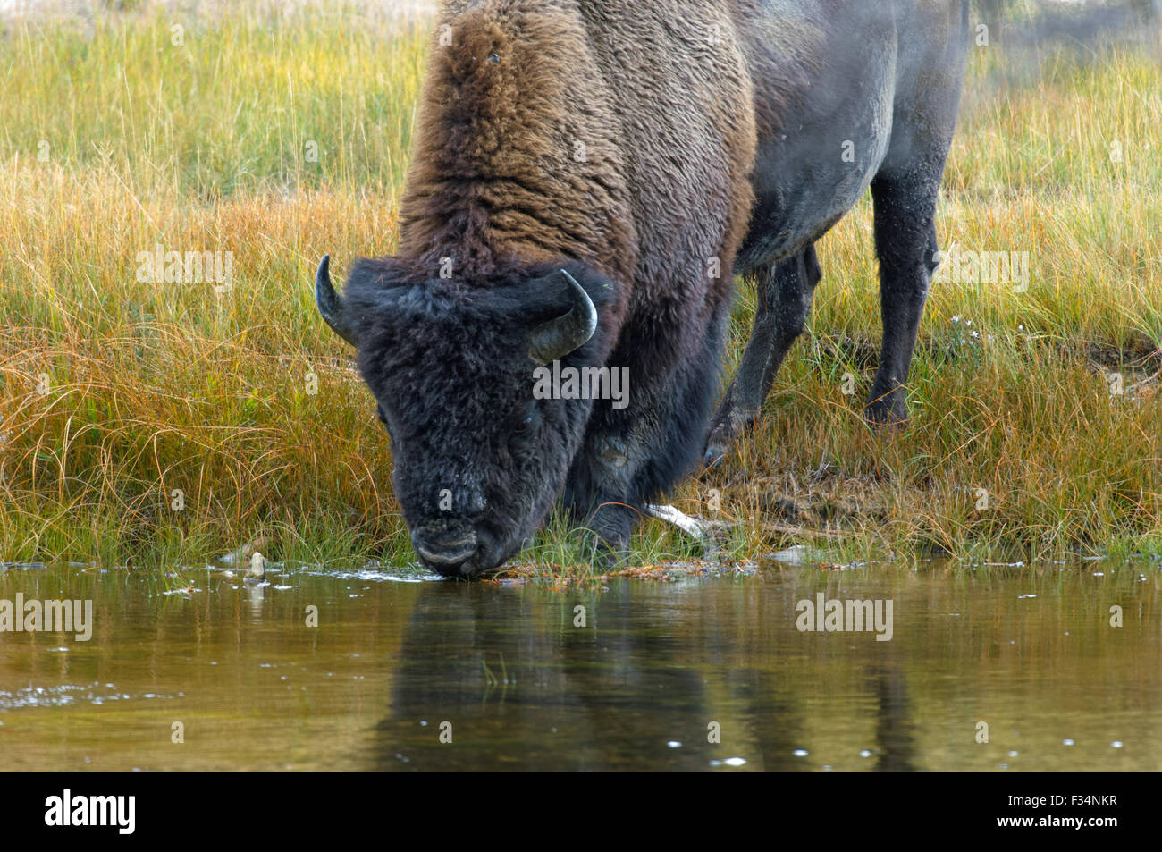 American Bison (Bison bison) drinking from stream, Yellowstone National Park, Wyoming, USA er Llewellyn - Stock Image