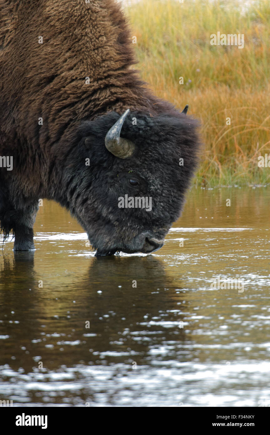 American Bison (Bison bison) drinking from river, Yellowstone National Park, Wyoming, USA - Stock Image
