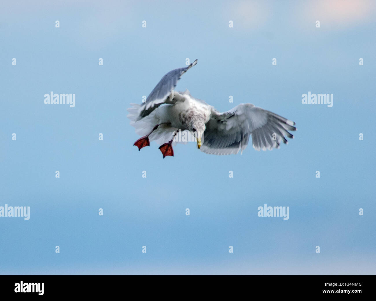 Glaucous-winged Gull (Larus glaucescens) coming in for landing, Nanaimo, British Columbia, Canada - Stock Image