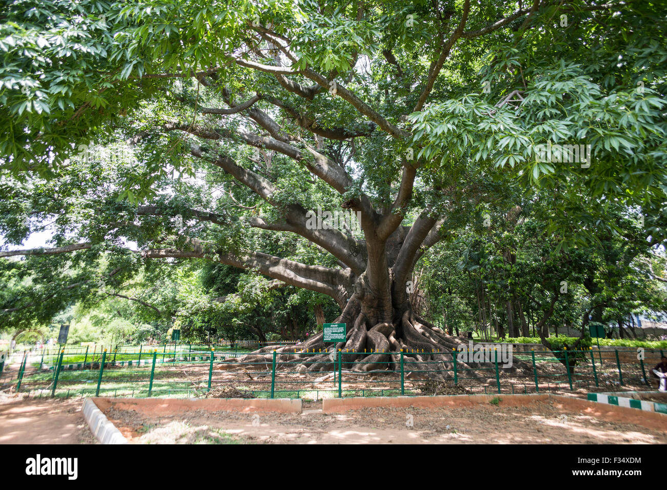Delicieux White Silk Cotton Tree, Lalbagh Botanical Garden, Bengaluru, Karnataka,  India   Stock