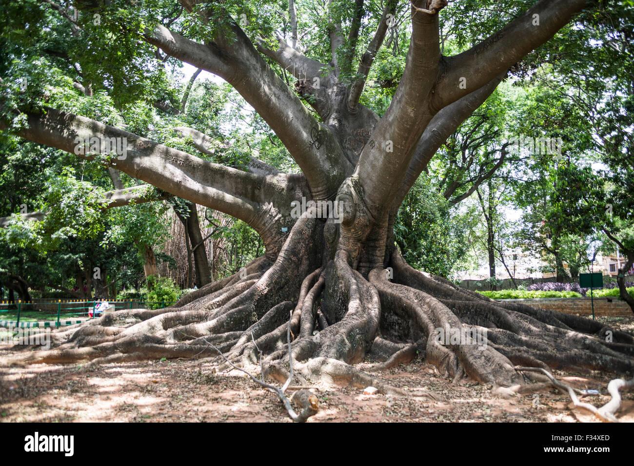 Beau White Silk Cotton Tree, Lalbagh Botanical Garden, Bengaluru, Karnataka,  India   Stock