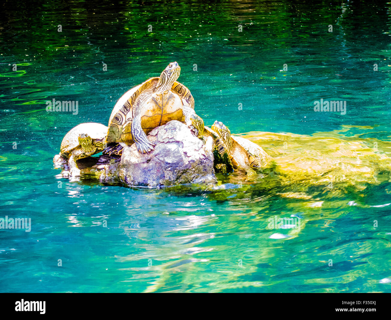 Turtles sunning on Barton Creek, a tributary of Lady Bird Lake (formerly Town Lake) - Austin, Texas - Stock Image