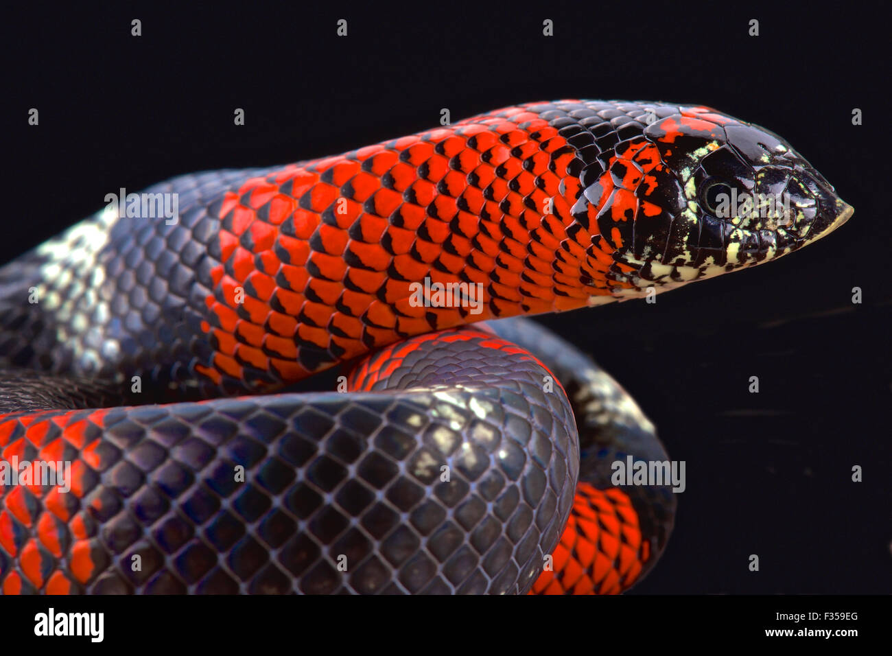 Tri-color hognose snake (Lystrophis pulcher) - Stock Image