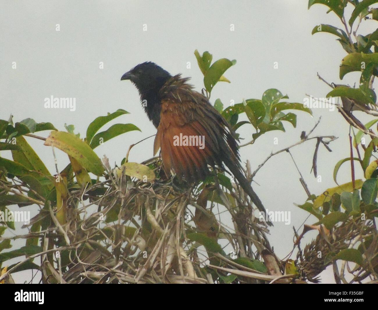 Bintan, Riau Islands, Indonesia. 30th Sep, 2015. BINTAN, INDONESIA - SEPTEMBER 30: The greater coucal or crow pheasant - Stock Image