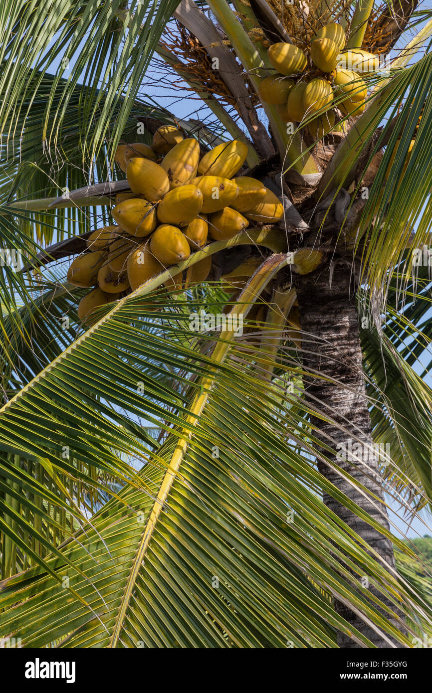 The coconut palm or cocos nucifera is a tree of the palm family and  one of the most important crops in the tropics. - Stock Image