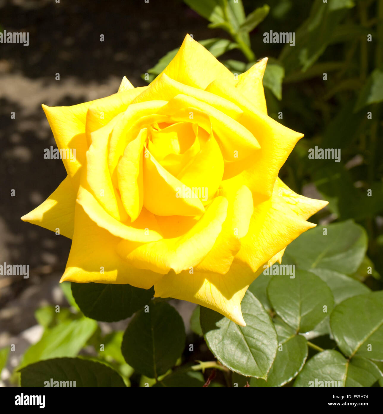 One big flower rose yellow stock photos one big flower rose yellow one big flower rose of yellow colour in garden stock image mightylinksfo