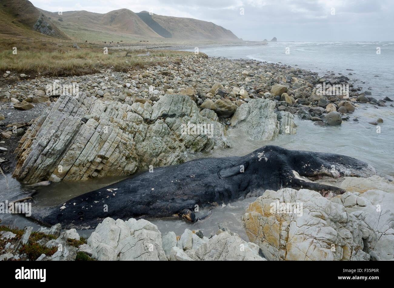 burial Dauphin island sperm whale