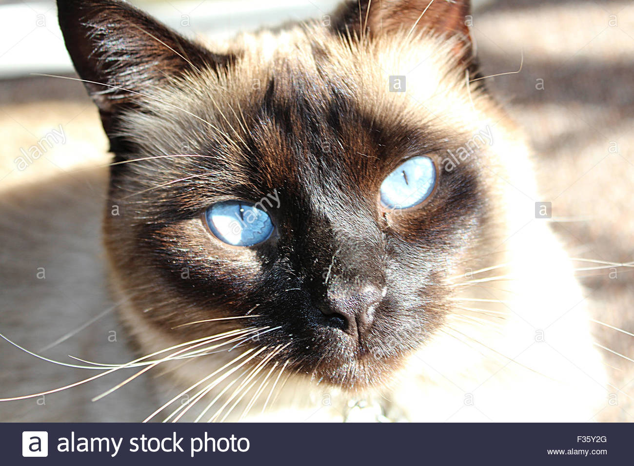 Beautiful Siamese Cat With Piercing Blue Eyes And Seal Point Coloring A Bright Sun