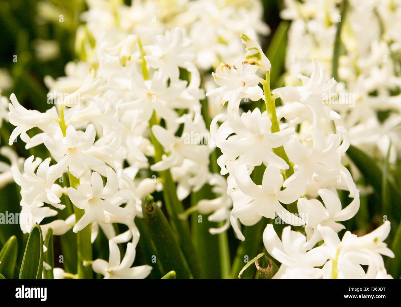 Few flowers hyacinth of white colour on flower bed stock photo few flowers hyacinth of white colour on flower bed mightylinksfo