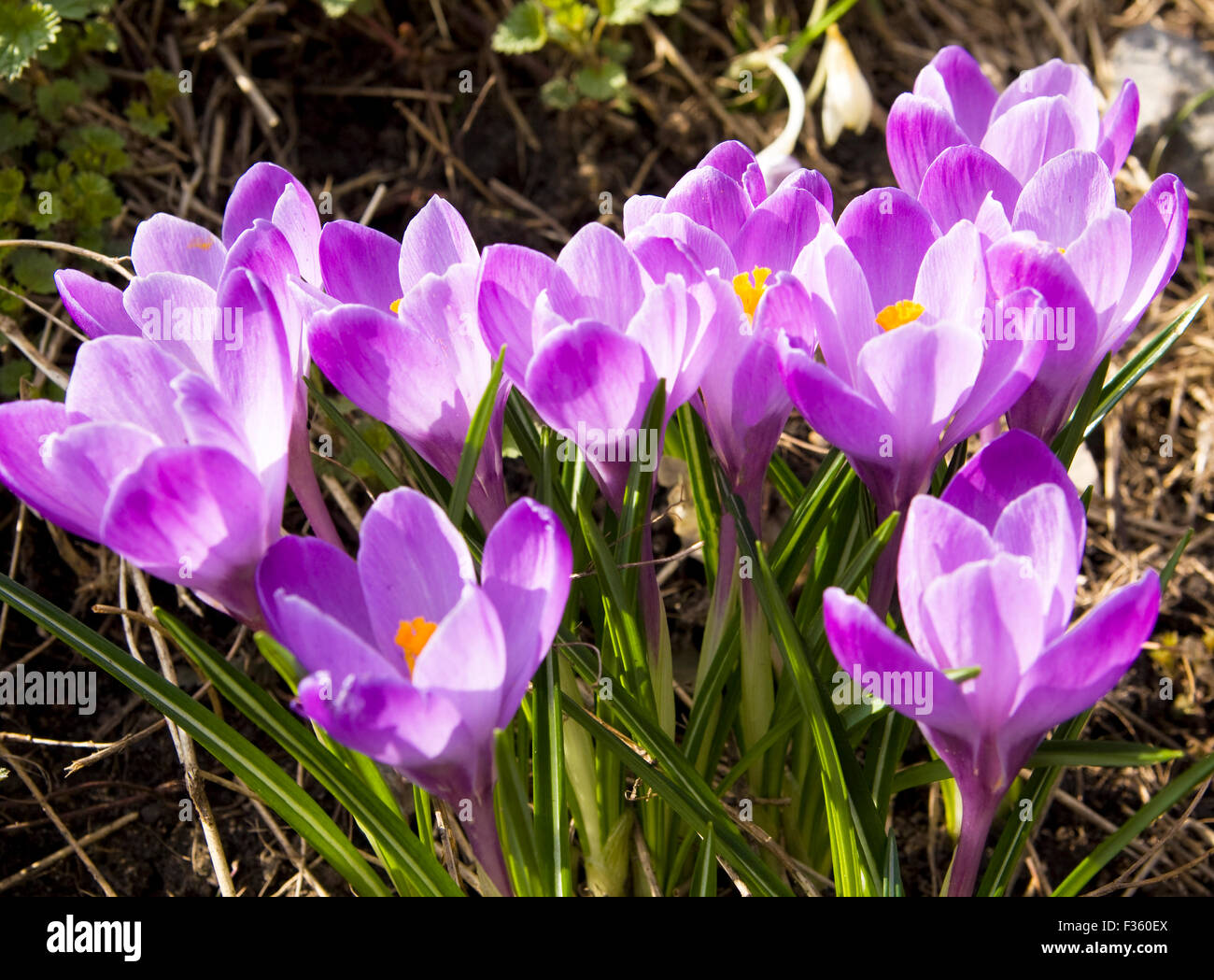 First Spring Flowers Crocuses Of Purple Colour On Ground Stock Photo