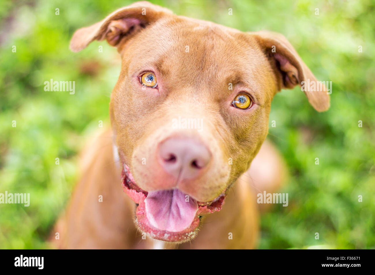 Cute red nose pitbull sitting outside looking up waiting for a training cue - Stock Image