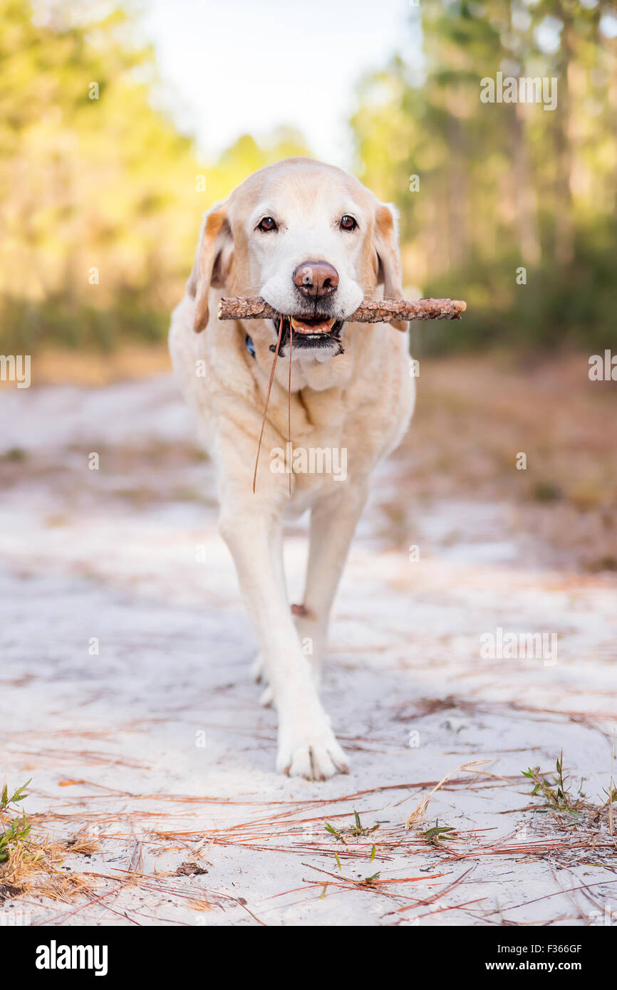 Old dog Labrador Retriever senior carrying a stick outside in the woods or park - Stock Image