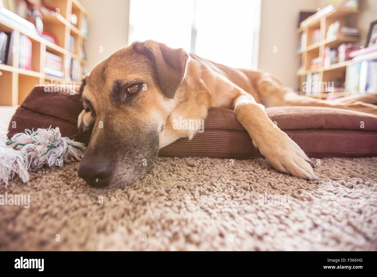 Big dog laying down on the dog bed in a room - Stock Image